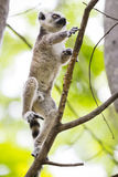 Baby ring tailed lemur on a branch in Madagascar. Cute baby ring tailed lemur climbing and jumping a tree branch in Madagascar, Africa Stock Image