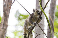 Baby ring tailed lemur on a branch in Madagascar. Cute baby ring tailed lemur climbing and jumping a tree branch in Madagascar, Africa Royalty Free Stock Photos