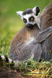 Baby Ring Tailed Lemur. Clasping mother Stock Image