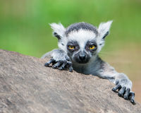 Baby Ring-Tailed Lemur. Frontal Portrait of a Baby Ring-Tailed Lemur Stock Image