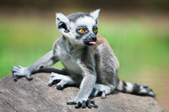 Baby Ring-Tailed Lemur II. 3/4 Portrait of a Baby Ring-Tailed Lemur royalty free stock images