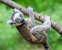 Baby Ring-Tailed Lemur III. Baby Ring-Tailed Lemur Hanging from a Tree Branch Royalty Free Stock Photo