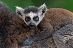 Baby Ring-Tailed Lemur (Lemur Catta). Baby Ring-Tailed Lemur on mother's back Royalty Free Stock Photography