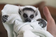 Baby ring-tailed lemur, Lemur catta, swaddled in a linen is looking at camera royalty free stock image