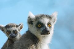 Baby ring-tailed lemur on moth. Cute baby ring-tailed lemur on mothers back Royalty Free Stock Images