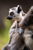 Baby Ring Tailed Lemur. On mothers back Royalty Free Stock Images