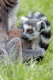 Baby Ring-Tailed Lemur. Sat in long green grass Royalty Free Stock Photo