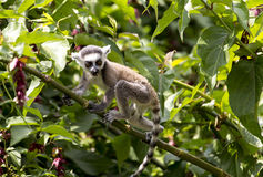 Baby Ring Tailed Lemur sitting on a tree branch. A baby ring tailed lemur monkey sitting on a tree branch Royalty Free Stock Photography