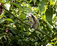 Baby ring tailed Lemur sitting on a tree branch. A baby ring tailed lemur monkey sitting on a tree branch and playing Stock Photo