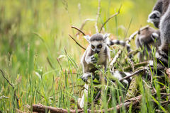 Baby Ring Tailed Lemur. Sniffing a plant Stock Photos