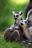 Baby Ring Tailed Lemur. Suckling Royalty Free Stock Photography