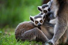 Baby Ring Tailed Lemur. Suckling Royalty Free Stock Photos