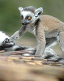 Baby Ring Tailed Lemur. Taken at Lakeland Zoo Royalty Free Stock Photos