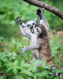Baby Ring-Tailed Lemurs. Playing in the Grass royalty free stock image
