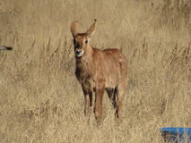 A baby Roan antelope Royalty Free Stock Image