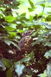 Baby Robin. Roosted in a holly bush, close up, shot verticle and in profile Stock Images