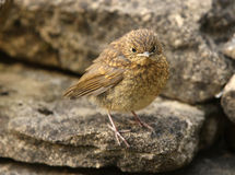 Baby Robin. Portrait of a baby Robin waiting to be fed Royalty Free Stock Photo