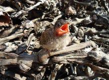 Baby robin Stock Image