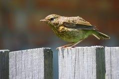 Baby robin Royalty Free Stock Photo