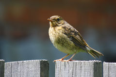 Baby robin Stock Photography