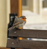 Baby robin on cafe chair. Photo of a cute baby robin bird resting on cafe chair surveying his surroundings! May 2016 royalty free stock photos