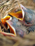 Baby robin chicks in nest. Macro view of baby robin chicks in birds nest Royalty Free Stock Photos
