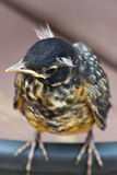 Baby robin cocking his head Stock Photo