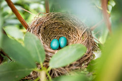 Baby robin eggs. Two blue robin eggs n nest Stock Image