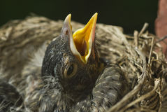 Baby Robin In Nest Royalty Free Stock Images