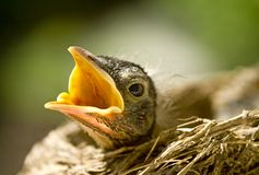 Baby Robin in Nest Stock Image