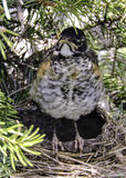 Baby Robin in a Nest Stock Photos