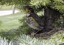 Baby Robin in a Nest Stock Images