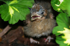 Baby Robin Out of Nest. Robin hiding out in the garden Stock Image