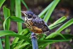 Baby Robin. Perched before taking off Royalty Free Stock Photography