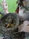 Baby Robins stock image