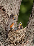 Baby robin screams in hunger. Robin watches over her young as they as cry in hunger; baby with mouth wide open stock photo