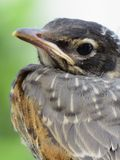 Baby Robin. Stoic pose before flight Stock Photography