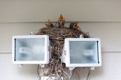 Baby Robins Stock Photos