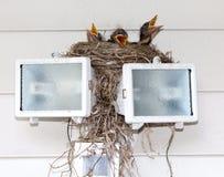 Baby Robins Royalty Free Stock Photo