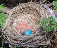 Baby robins. Royalty Free Stock Images
