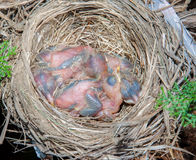 Baby robins. Baby robins in the nest, just a few days old Stock Image