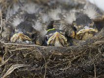 Baby Robins. In a nest Saskatchewan Canada Royalty Free Stock Image