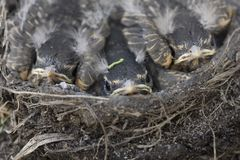 Baby Robins. In a nest Saskatchewan Canada Royalty Free Stock Images