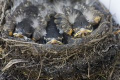 Baby Robins. In a nest Saskatchewan Canada Royalty Free Stock Photos