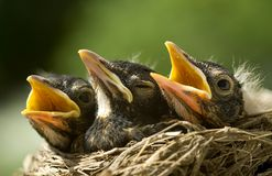Baby Robins in Nest. A closeup of three baby robins in a nest, shallow depth of field, horizontal with copy space Stock Photography