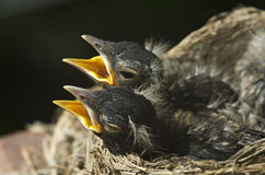 Baby Robins In A Nest. Two baby robins in a nest with open mouths, horizontal with selective focus on baby birds, copy space Royalty Free Stock Photography