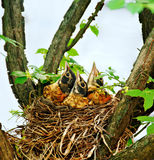 Baby Robins in a Nest Stock Image