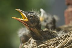 Baby Robins in a Nest. Three baby robins in a nest, selective focus on one baby robin, horizontal with copy space Stock Photos