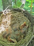 Baby robins in nest Stock Image