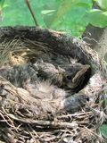 Baby robins nest Royalty Free Stock Images
